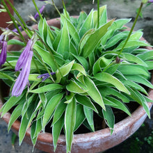 Load image into Gallery viewer, Hosta LITTE DEVIL 1.5L