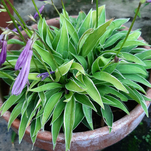 Hosta LITTE DEVIL 1.5L