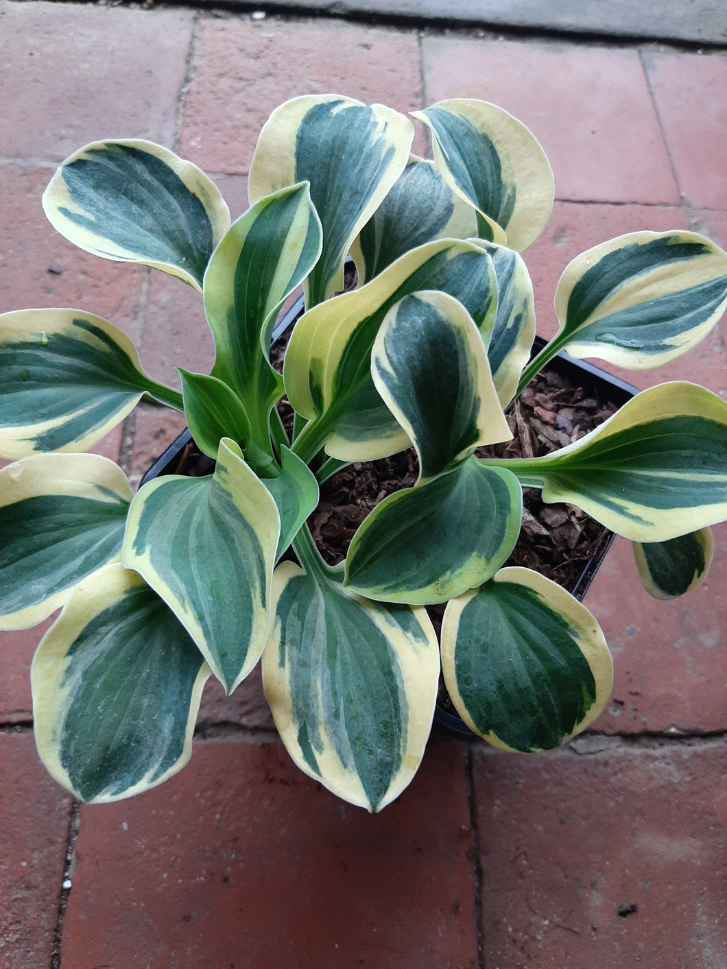 Hosta MIGHTY MOUSE 1.5Litre