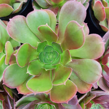 Load image into Gallery viewer, Aeonium BLUSHING BEAUTY 10cm