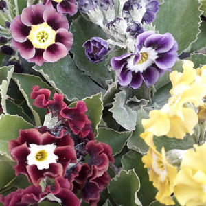 SEED: W&S Lockyer GARDEN BORDER AURICULA packs of Seed
