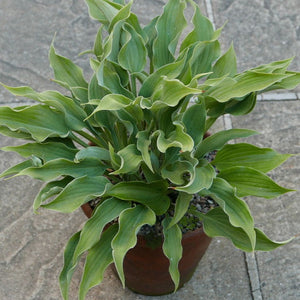 Hosta 'SALUTE' 1.5litre pot