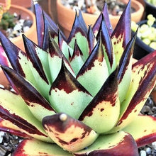 Load image into Gallery viewer, Echeveria EBONY 5.5cm