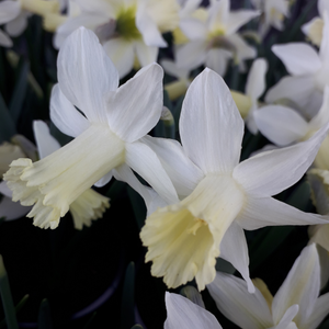 Narcissus 'SNOW BABY' pack of 10