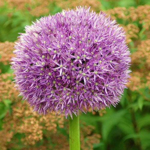 Allium 'GLOBEMASTER' pack of 3
