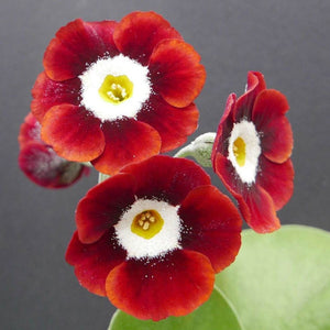 Auricula 'DALES RED' (B)