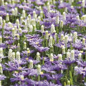 Anemone BLANDA BLUE & Muscari SIBERIAN TIGER pack of 20