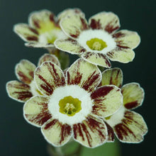 Load image into Gallery viewer, Auricula 'ROBIN HOOD' (Str)