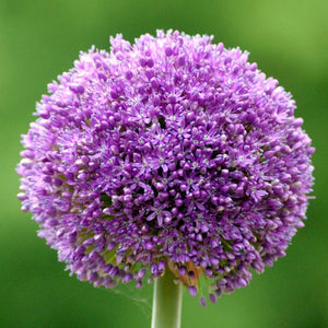 Allium 'AMBASSADOR' size 24 pack of 3