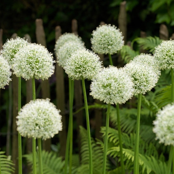 Allium 'MOUNT EVEREST' pack of 3