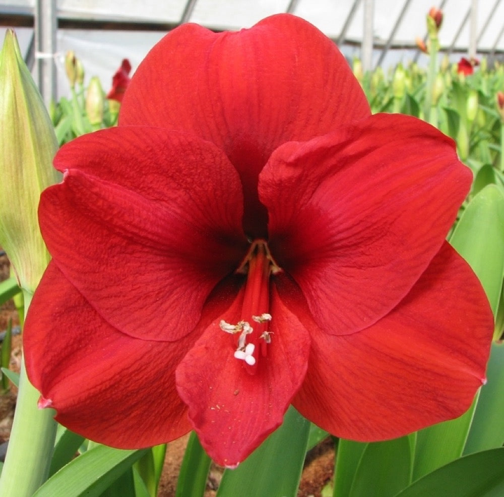 Hippeastrum Amaryllis 'RED LION' 40/42