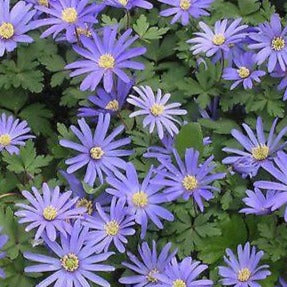 Anemone BLANDA 'BLUE SHADES' pack of 10