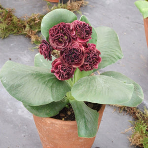 Auricula 'FUNNY VALENTINE' (D)