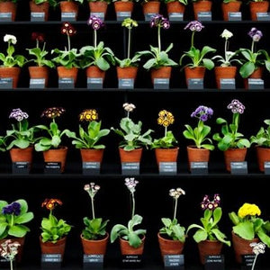 A Collection of 3 Alpine Auriculas