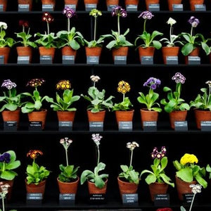 A Collection of 3 double Auriculas