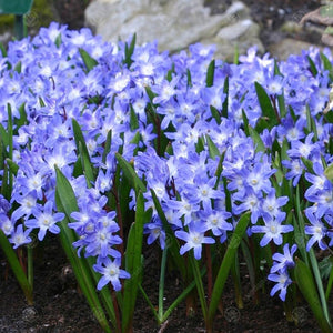 Chionodoxa 'BLUE GIANT' pack of 10 bulbs