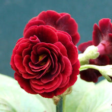 Load image into Gallery viewer, Auricula 'CRIMSON GLOW' (D)