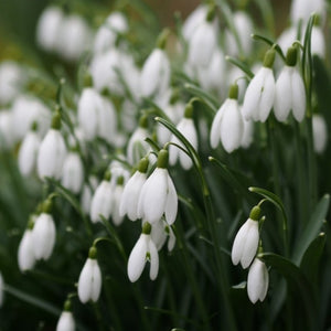Galanthus NIVALIS (Common English Snowdrop) pack of 10