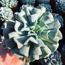 Load image into Gallery viewer, Echeveria 'CUBIC FROST' 8.5cm