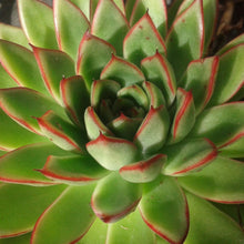 Load image into Gallery viewer, Echeveria agavoides 'RED TIP' 8.5cm