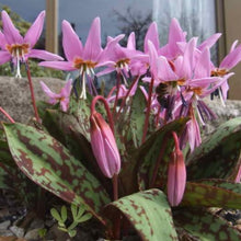 Load image into Gallery viewer, Erythronium dens-canis 'PURPLE KING' (Dog Tooth Violet) pack of 3