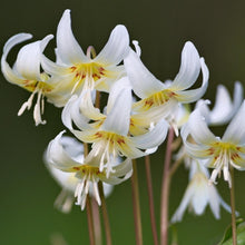 Load image into Gallery viewer, Erythronium revolutum 'WHITE BEAUTY' (Dog Tooth Violet) pack of 4