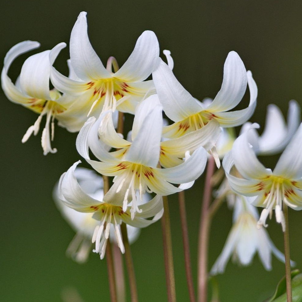 Erythronium revolutum 'WHITE BEAUTY' (Dog Tooth Violet) pack of 4