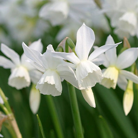 Narcissus 'THALIA' pack of 10