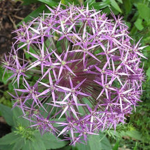 Load image into Gallery viewer, Allium 'CHRISTOPHII' pack of 10