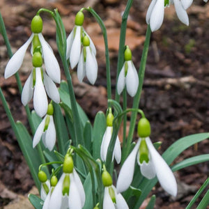 Galanthus DING DONG