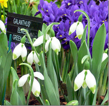 Load image into Gallery viewer, Galanthus GREEN BRUSH
