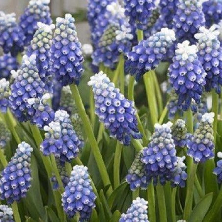 Muscari 'TOUCH OF SNOW' pack of 10