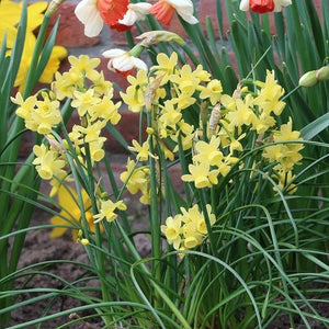 Narcissus 'ANGELS WHISPER' pack of 10
