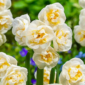 Narcissus 'BRIDAL CROWN' pack of 10