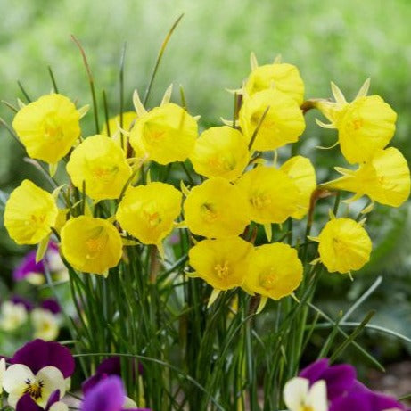 Narcissus 'CASUAL ELEGANCE' pack of 5