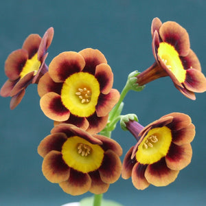 Auricula 'SLIM WHITMAN' (A)