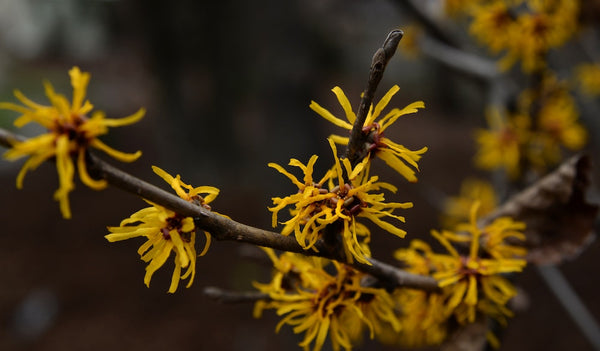 why witch hazel is not ideal for skin
