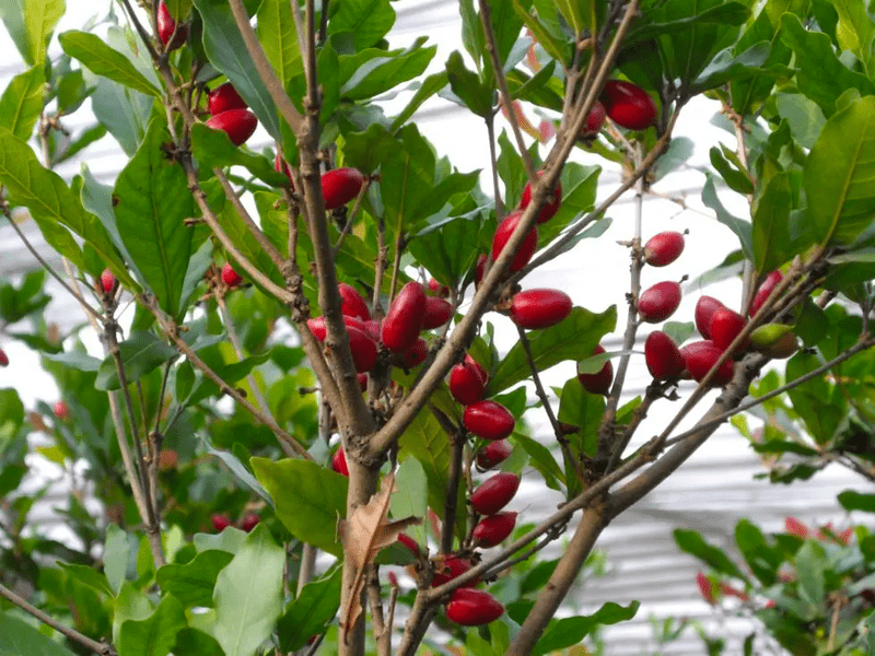Miracle berry tree with miracle fruit