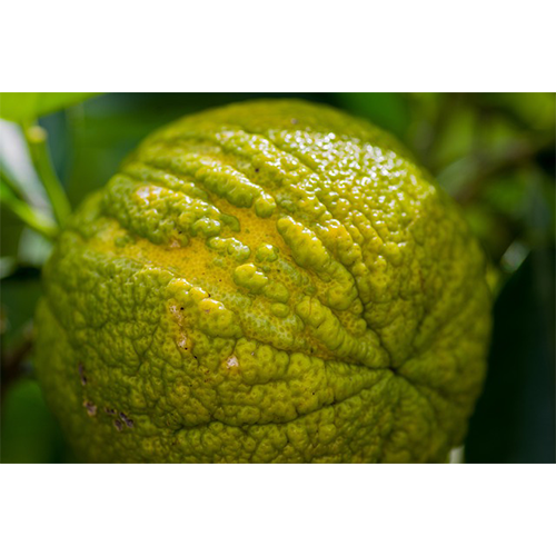 Bergamot orange. Looks similar to a yuzu and lemon. Green with a touch of yellow