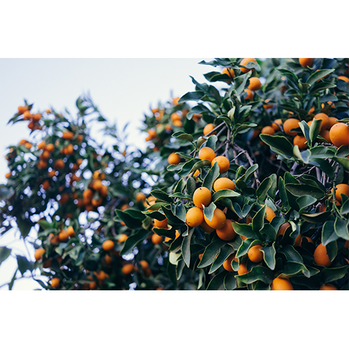 Kumquats in a tree. Orange and the size of tangerines