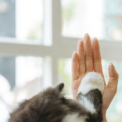 a Cat Gives High Five