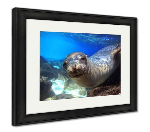 Framed Print, Sea Lion Underwater Closeup Looking At Camera