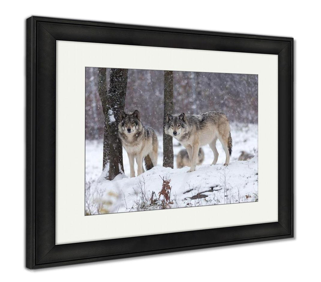 Framed Print, Lone Timber Wolf In A Snow Storm