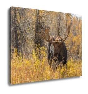 Gallery Wrapped Canvas, Bull Moose In Fall
