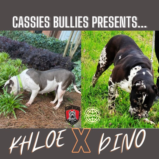 Cassies bullies Litter Reservation For Khloe and Dino