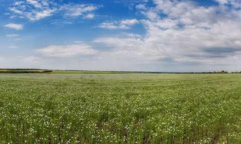 field of flax plants, blue skies, sunny day