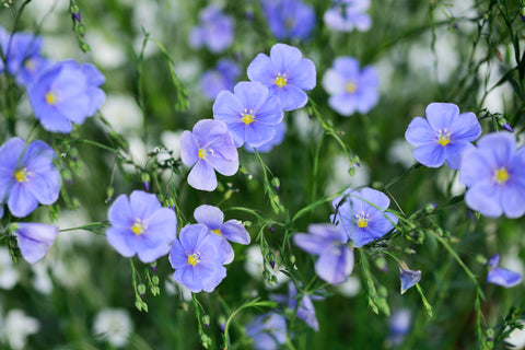 Flax flowers close up