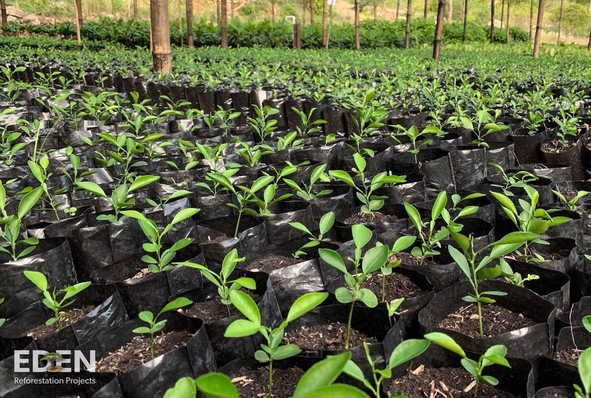 Eden Reforestation Project - recently planted tree shoots