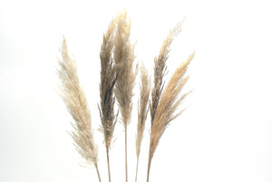 Mini Pampas Grass | White / Cream