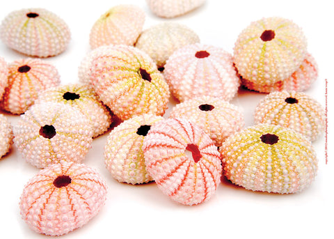 Pink Sea Urchins